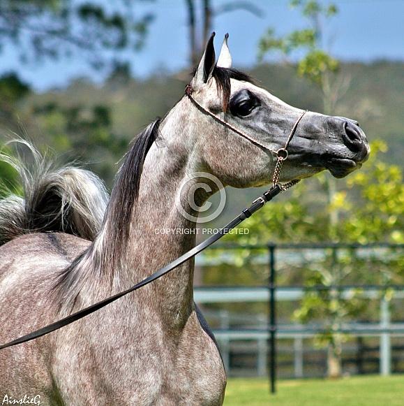Arabian Elegance