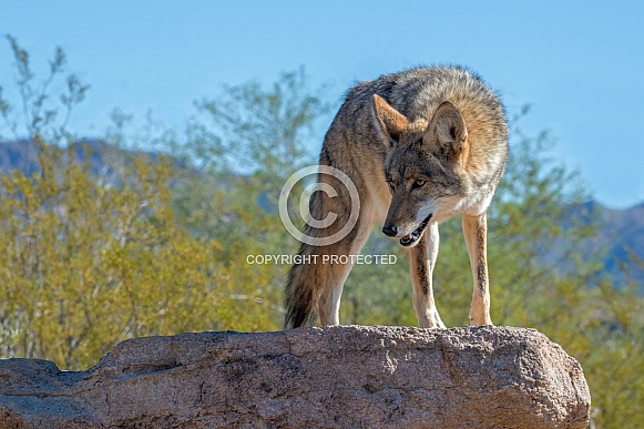 Coyote Poised on a Rock