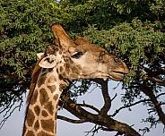 Giraffe Side Portrait
