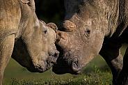 White Rhino Kisses