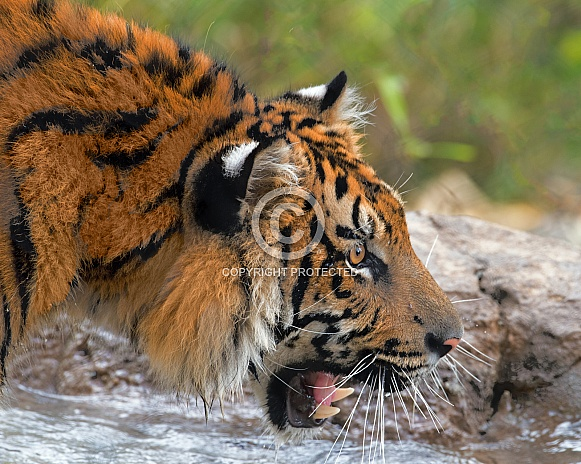 Sumatran Tiger - 1 Year Old Cub - Male