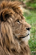 Side Profile Of African Lion