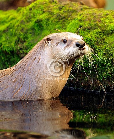 North American Otter