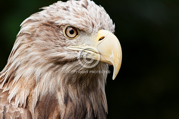 White Tailed Fish Eagle Face Shot Close Up