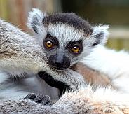 Ring-taile Lemur