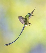 Violet-tailed Sylph Hummingbird