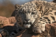 Young Snow Leopard Close Up