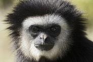 Lar Gibbon Close Up Face Shot