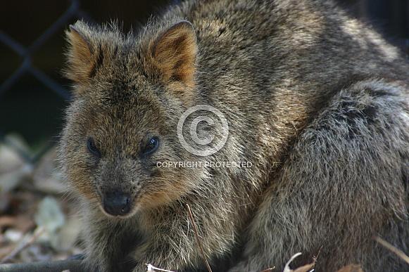 Australian Quokka
