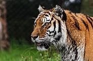 Amur Tiger Side Profile