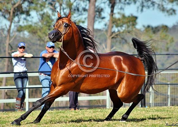 Arabian Stallion in Motion