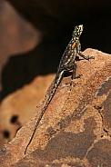 Namibian Rock Agama - Damaraland - Namibia