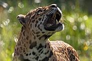 Jaguar Close Up Side Profile Looking Upwards