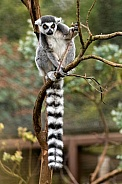 Ring Tailed Lemur In Tree