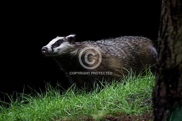 Wild European badger