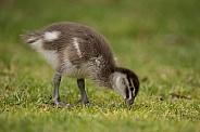 Australian wood duckling (wild).