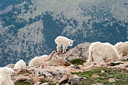 Wild mountain goats against an alpine backdrop