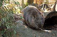 Common Wombat