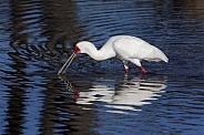 African Spoonbill - Okavango Delta - Botswana