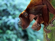 Red howler mother with baby