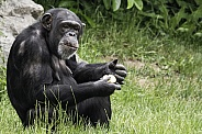 Chimpanzee Full Body Sitting