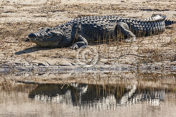 Nile Crocodile - Chobe River - Botswana