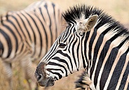 Zebra Kruger RSA