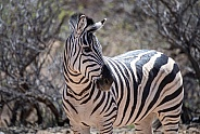 Profile of a standing zebra