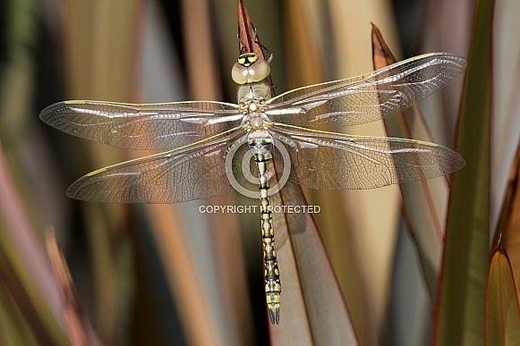 Australian Emperor Dragonfly (wild).