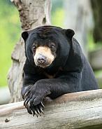 Sun Bear relaxing