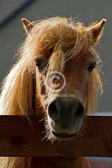 Shetland Pony Portrait
