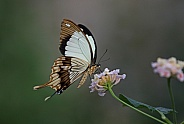 Mocker Swallowtail