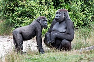 Gorilla mother with child