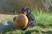 Baby Bonobo and Ball