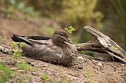 Australian Wood Duck (wild)