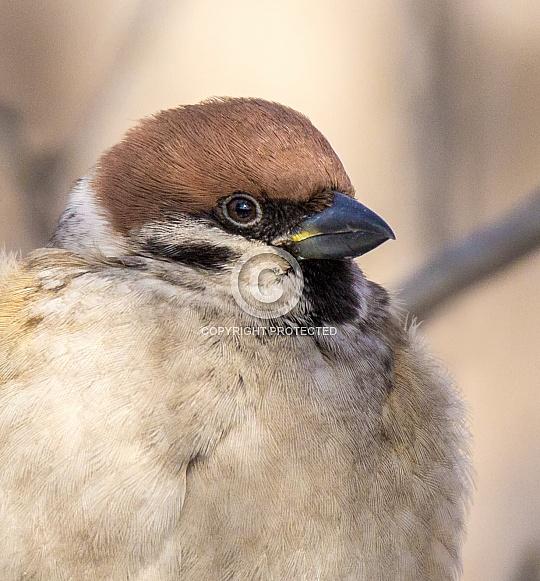 Tree sparrow portrait