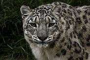 Snow Leopard Looking At Camera