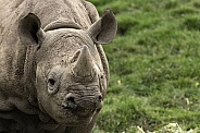 Young Black Rhino Close Up