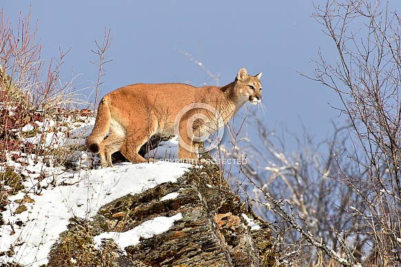 Mountain Lion – Wildlife Reference Photos for Artists