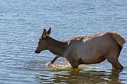 Elk Cow splashing in Yellowstone Lake