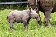 Black rhino calf