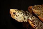 Sulawesi forest turtle (Leucocephalon yuwonoi)