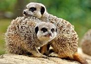 meerkat duo