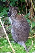 Bennett's Wallaby