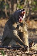 Chacma Baboon yawning - Botswana