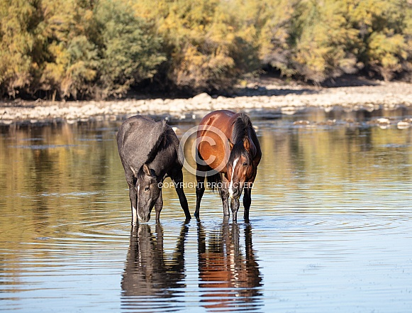Wild horses at the river