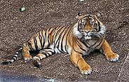Sumatran Tiger Lying Down