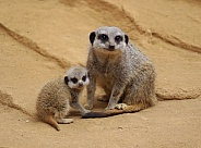Meerkat & Pup