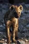 Spotted Hyaena Cub - Namibia