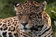Jaguar Lying Down Looking At Camera